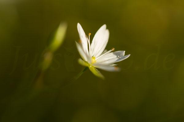 Juist-Fotoreise-Flora-Blüte-weiss