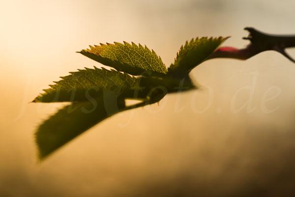 Juist-Fotoreise-Flora-Blatt